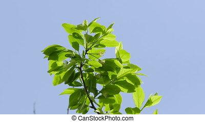 plum branch against blue sky nature landscape video 4k