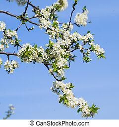 plum., cerise, prune, arbres, branche, fleurir, fleurs blanches