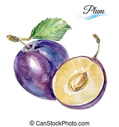 Plum drawing watercolor isolated on white background for design