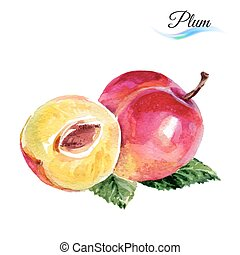 Plum drawing watercolor isolated on white background