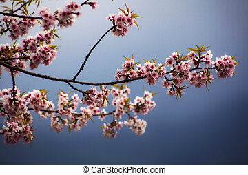 plum flower blossom