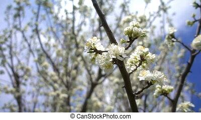 Plum Flower on Tree