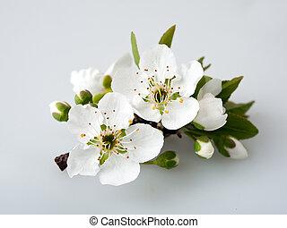 Plum flowering