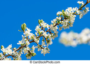 Plum flowers on a branch with blue sky