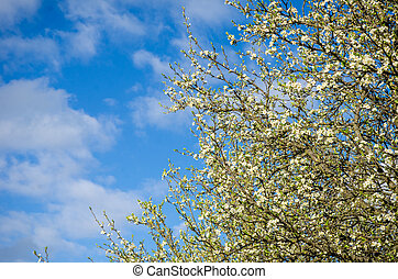 Plum flowers - Plum tree flowers on a barely green branch ...