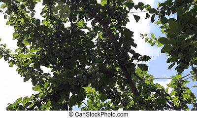 Plum fruits yield in shadow tree leaves
