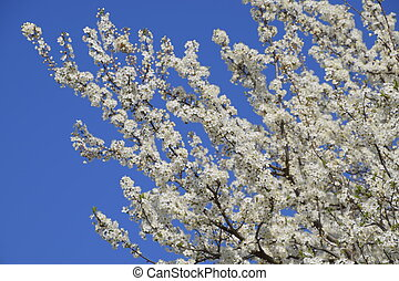 plum., jardin, pollinisation, printemps, prune, fleurir, arbres., sauvage, fleurir, fleurs