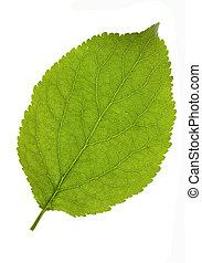 Plum leaf isolated  -  leaf of plum isolated on white