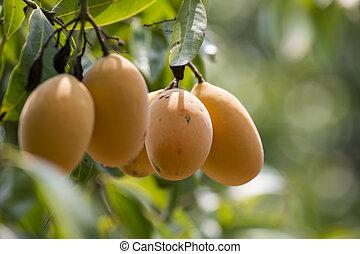 Plum Mango(Bouea macrophylla Griffi - Marian plum, Gandaria...