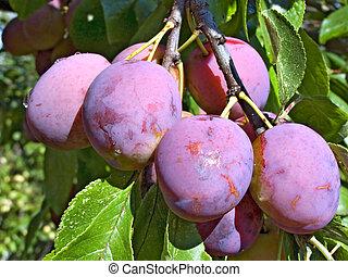 plum on branch