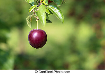 Plum on the tree isolated