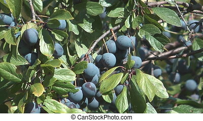 Plum. - Ripe berries of a plum on branches.