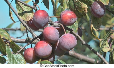 Ripe berries of a plum on branches.