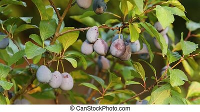 Plums on a tree, focus shifting from middle one to front one, cinematic camera movement