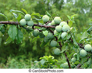 Plum-tree - Fruits discharges and droplets
