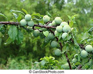 plum-tree