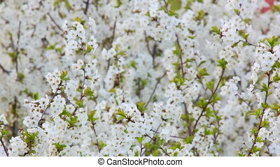 Plum tree with flowers - Branch with spring flowers on a...