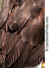 Harris Hawk - Plumage of a Harris Hawk wing