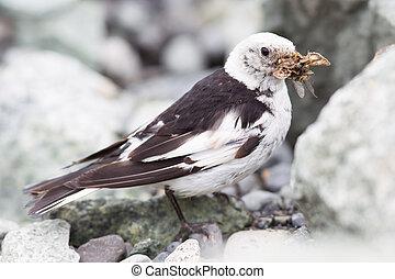 plumage, plectrophenax, islande, étamine neige, nivalis, ...