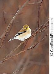 plumage, selvagem, americano, inverno, goldfinch