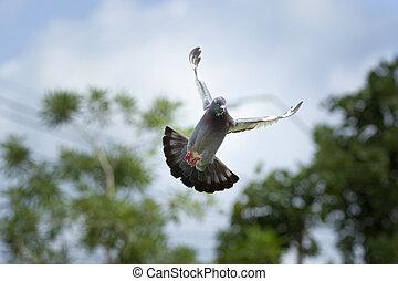 plume, aile, de, pigeon voyageur, oiseau, flotter, mi air