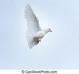 plume blanche, pigeon voyageur, oiseau vole, mi air