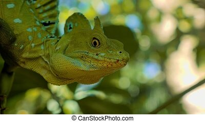 Plumed Basilisk, Costa Rica - Graded version. Watch also for...