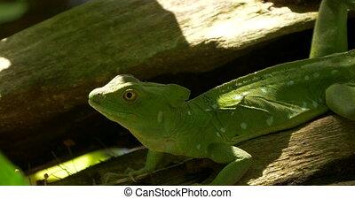 Plumed Basilisk, Costa Rica - Native 4:2:2, 10 Bit Material,...