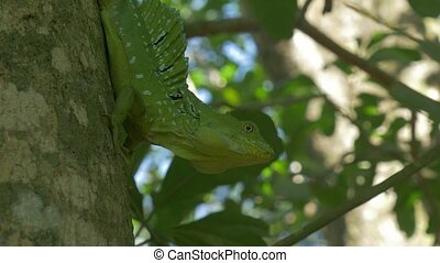 Plumed Basilisk, Costa Rica - Ungraded/flat version. Watch...