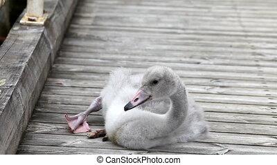 plumelets, cygne, nettoie, oiseau bébé, amarrage