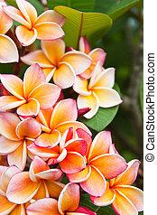 plumeria, 꽃
