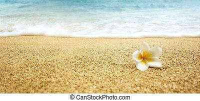 plumeria, alba, (white, frangipani), su, spiaggia sabbiosa