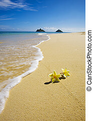 plumeria blossoms lie on the white sand