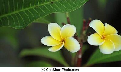 plumeria, définition, fleurs, travers, élevé, panoramique, ...