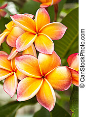plumeria, fiori