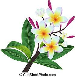 plumeria, fiori, foglie