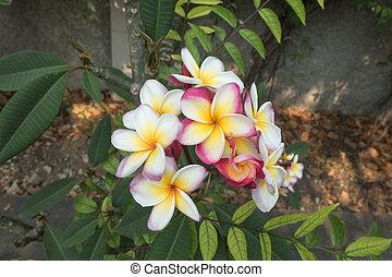plumeria, fleur, dans, fleur pleine
