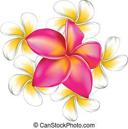 plumeria, flores