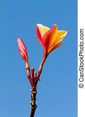 Plumeria flower against blue sky