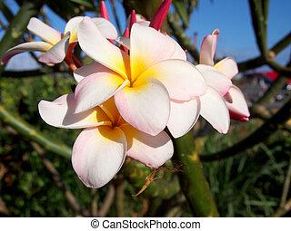 Plumeria Flower close-up. Plumeria is a genus of flowering...