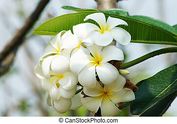Plumeria flower in bluesky and green leave