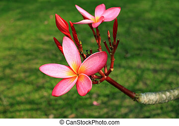 Plumeria flower in garden closeup