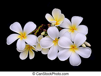 Plumeria flower on black background