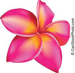 Plumeria flower - Pink plumeria, frangipani tropical flower...