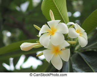 Plumeria flower - plumeria flower blooming on tree green leaf background