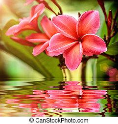Plumeria Flower - Beautyfull Plumeria Flower on tree with...