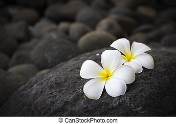 Plumeria flowers and dark stones - Exotic white flowers on...