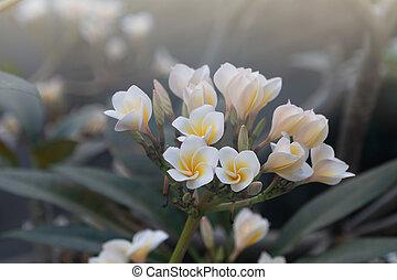 Plumeria flowers are blooming in springtime.