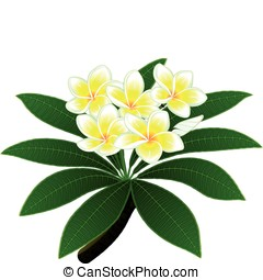 Plumeria flowers - Branch of a tropical tree plumeria with...