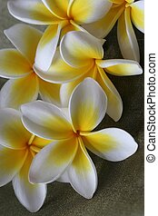 Plumeria Flowers - Close up of yellow and white tropical...